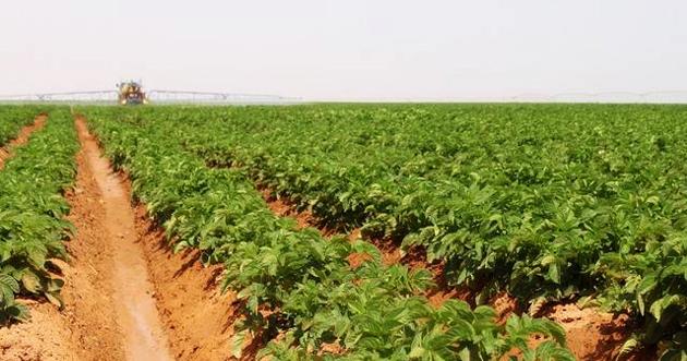 تراجع مساحة الأراضي المزروعة في المملكة إلى 694 هكتاراً